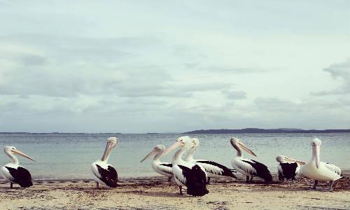 pelicans_cs